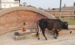Kuh vor Shivalingam in Pashupatinath, Nepal